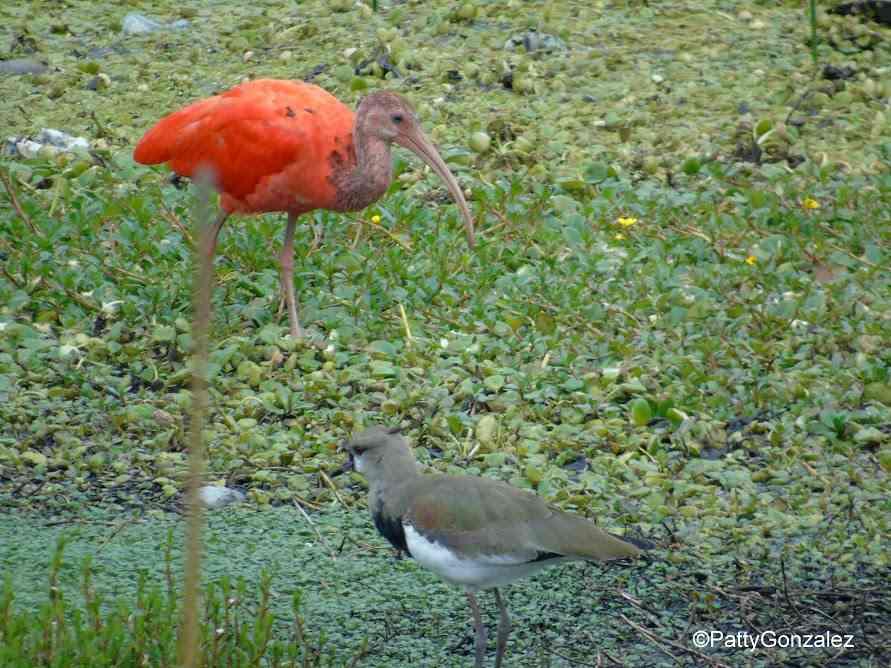 La rara ave de plumas rojas que apareció en uno de los humedales de Bogotá
