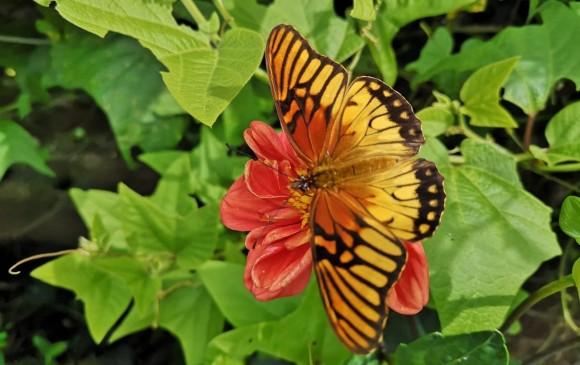 Una nueva especie de mariposa aparece en Medellín