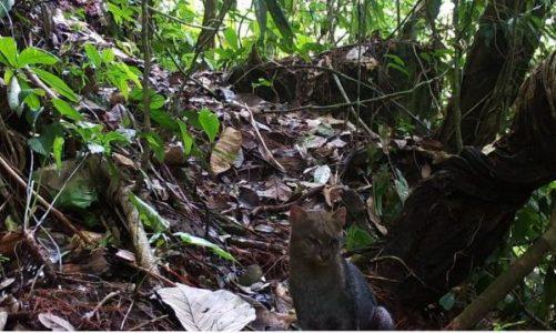 Así es el jaguarundi, el enigmático felino avistado en Caquetá