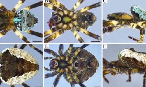 Una nueva araña en los Andes